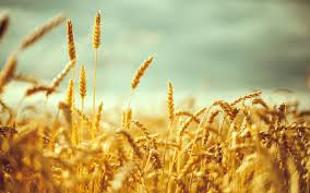 tare or wheat